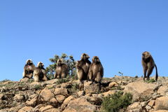 Gelada baboons in the Simien Mountains of Ethiopia royalty free stock images