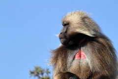 Gelada baboons in the Simien Mountains of Ethiopia Stock Photo