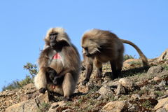 Gelada baboons in the Simien Mountains of Ethiopia Stock Images