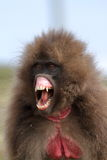 Gelada baboons in the Simien Mountains of Ethiopia Royalty Free Stock Photography