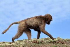 Gelada baboons in the Simien Mountains of Ethiopia Royalty Free Stock Image