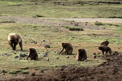 Gelada baboons in the Simien Mountains of Ethiopia Stock Photos