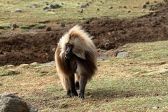 Gelada baboons in the Simien Mountains of Ethiopia Royalty Free Stock Photo