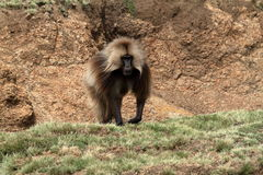 Gelada baboons in the Simien Mountains of Ethiopia Royalty Free Stock Photos