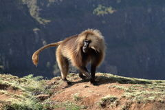 Gelada baboons in the Simien Mountains of Ethiopia Stock Photography