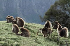Gelada baboons in the Simien Mountains of Ethiopia Stock Image