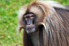 Gelada Baboons (Theropithecus gelada) stock photos