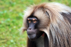 Gelada Baboons (Theropithecus gelada) - portrait Stock Photos