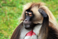 Gelada Baboons (Theropithecus gelada) - portrait royalty free stock photography