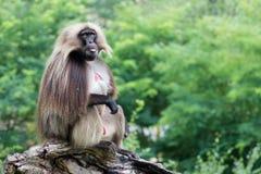 Gelada, macaco Foto de Stock Royalty Free