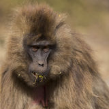 Gelada Monkey eating grass Royalty Free Stock Images