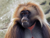 Gelada monkey male Stock Image
