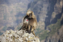 Gelada Monkey searching for food Royalty Free Stock Photos
