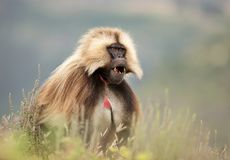 Gelada monkey in Simien mountains national park. Close up of an adult Gelada monkey Theropithecus gelada in Simien mountains national park, Ethiopia royalty free stock photography