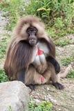 Gelada-Pavianaffe-Affenporträt Lizenzfreie Stockfotos