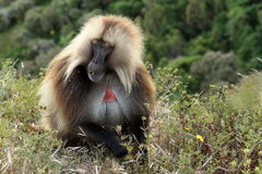 Gelada pawiany w Simien górach Etiopia Obraz Stock