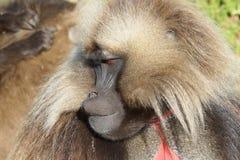 Gelada, Semien góry, Etiopia, Afryka Zdjęcia Royalty Free