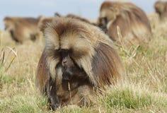 Gelada, Semien góry, Etiopia, Afryka Fotografia Stock