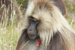 Gelada, Semien góry, Etiopia, Afryka Zdjęcie Royalty Free