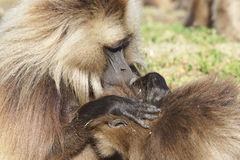 Gelada, Semien góry, Etiopia, Afryka Fotografia Royalty Free