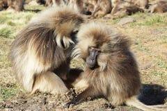 Gelada, Semien góry, Etiopia, Afryka Obrazy Stock