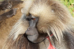 Gelada, Semien Mountains, Ethiopia, Africa Royalty Free Stock Photos