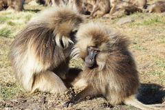Gelada, Semien Mountains, Ethiopia, Africa Stock Images