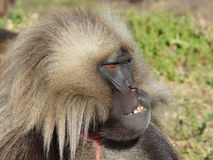 Gelada, Semien Mountains, Ethiopia, Africa Stock Photo