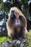 Gelada, Simien Mountains Royalty Free Stock Photos