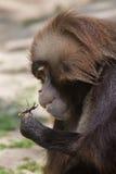 Gelada Theropithecus павиана Gelada есть жука рогача Стоковое Изображение RF