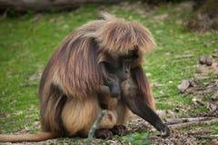 Gelada Theropithecus павиана Gelada Стоковая Фотография RF