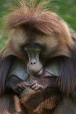 Gelada Theropithecus павиана Gelada Стоковые Изображения