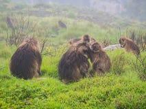 Gelada Gelada Theropithecus albert in Semien-Bergen, Ethio herum Lizenzfreies Stockfoto