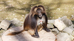 The gelada (Theropithecus gelada) Royalty Free Stock Images