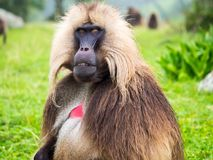 Gelada Theropithecus gelada monkeys in Semien Mountains, Ethio. Pia royalty free stock image