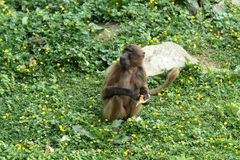 The gelada Stock Photo