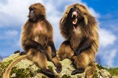 Geladas, Simien Mountains Royalty Free Stock Image