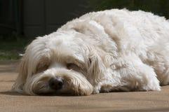 Gelassene Schlafenhunde legen stockfoto