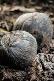 Gelaten vallen kokosnoot Royalty-vrije Stock Fotografie