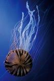 gelatina Viola-a strisce Fotografie Stock Libere da Diritti