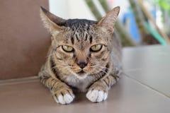 Gelb-äugige Katze Stockfoto