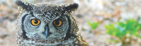 Gelb-äugiger Abschluss Kap-Eagle Owls oben Stockfotografie
