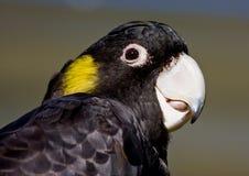 Gelb-angebundener schwarzer Cockatoo Lizenzfreie Stockfotografie