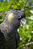 Gelb angebundener schwarzer Cockatoo im Baum Stockbilder