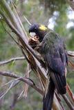 Gelb-angebundener schwarzer Kakadu, der in einem Baum frühstückt sitzt lizenzfreie stockbilder