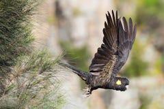 Gelb-angebundener schwarzer Kakadu im Flug Stockfoto
