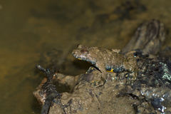 Gelb-aufgeblähte Kröte (Bombina variegata) Stockfotos