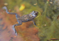 Gelb-aufgeblähte Kröte, die auf Oberfläche schwimmt Lizenzfreies Stockfoto