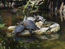 Gelb-aufgeblähte Schieber-Schildkröten Lizenzfreies Stockbild