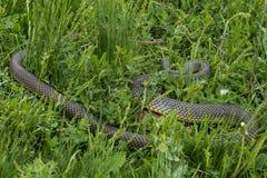 Gelb-aufgeblähte Schlange Stockfotografie